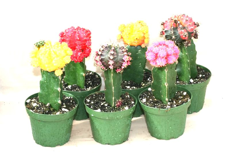 "4"" Grafted Cactus Colortop"